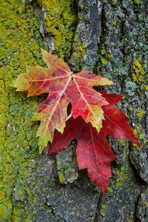 two autumn maple leafs on a bark  the first leaf is red with the sides paint in green-yellow, the secont leat is red  The bart is covered with lichens   more in the left side of the image  Stock Photo
