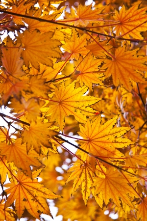 Orange fall leafs like background