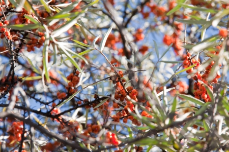 Hippophae rhamnoides background fruits fall autumn branches orange leafs blue sky little fruits Stock Photo