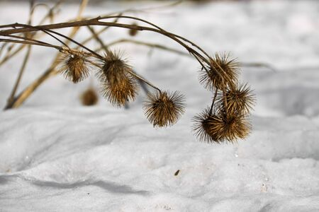 Thistles and snow in winter Stock Photo