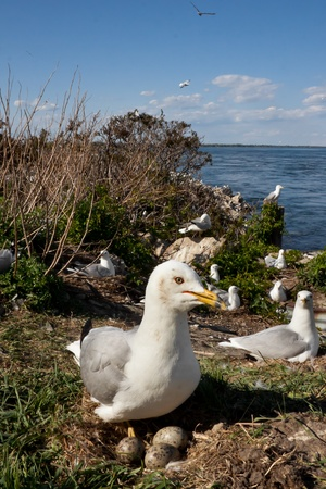 Seagull near it s nest with three eggs, in middle of a seagulls colony Stock Photo