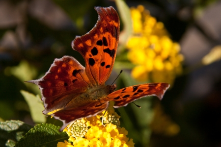 Beautiful Poligonia butterfly on a yellow flower photo