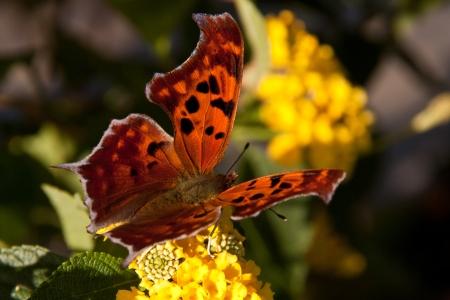 Beautiful Poligonia butterfly on a yellow flower Stock Photo