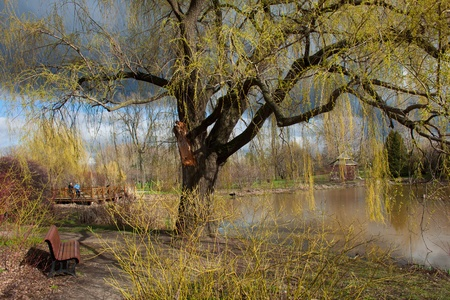 An Weeping willow tree near a lake in summer