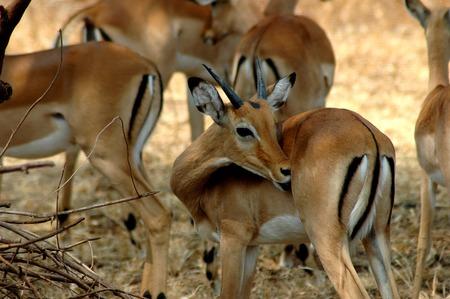 Family Impala Standard-Bild