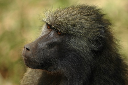 parc: Animal portrait-baboon Stock Photo