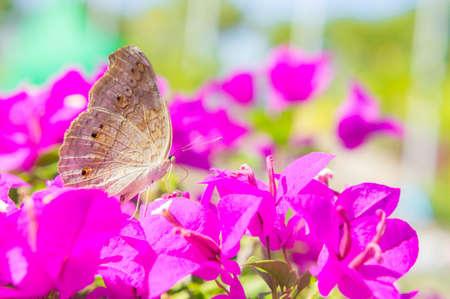 The butterfly and flowers , Butterfly garden bougainvillea flower