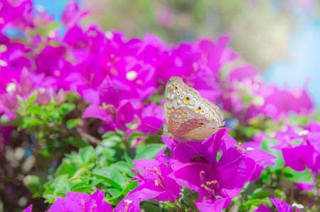 butterfly in the garden: The butterfly and flowers , Butterfly garden bougainvillea flower