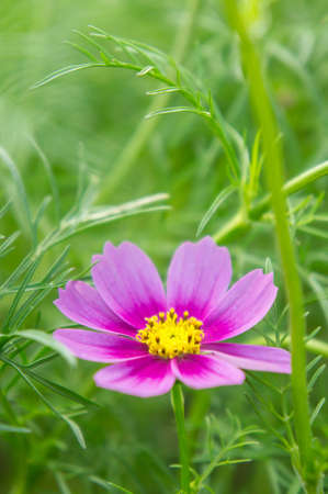 Cosmos flowers in the park , Beautiful flowers in the garden, colorful day