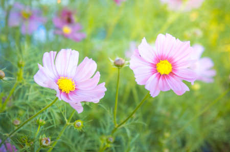 pestel: pink cosmos flowers in the garden colorful vintage