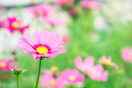 pestel: pink flowers in the park , cosmos flowers in the garden with sunlight pastel vintage style