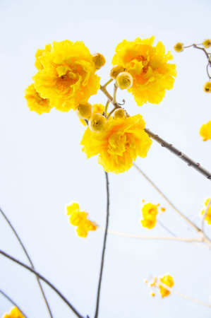 Yellow cotton flowers, Silk Cotton flowers, Tree beautiful in sky