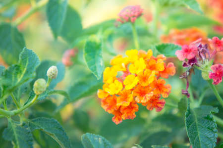 lantana camara: colorful lantana camara flowers, in the garden