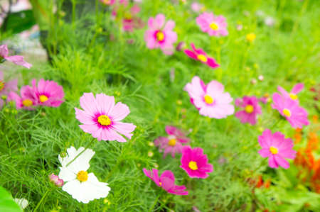 pink flowers in the park , cosmos flowers in the garden with sunlight pastel vintage style