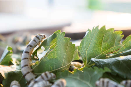 silkworm on mulberry leaf , worm larvae ,eating mulberry leaf , And pods are pupae