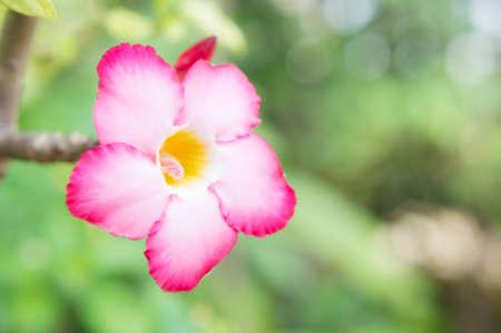 mock azalea: Pink flowers in the garden  , Desert Rose; Impala Lily; Mock Azalea flowers