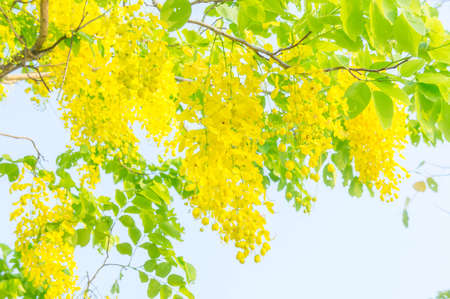 Cassia fistula flowers, Golden shower flowers , Yellow flowers summer in thailand Stock Photo