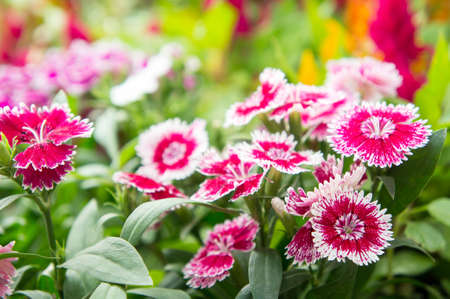Dianthus flower , flower blossom  in the garden , beautiful colorful flowers Stock Photo