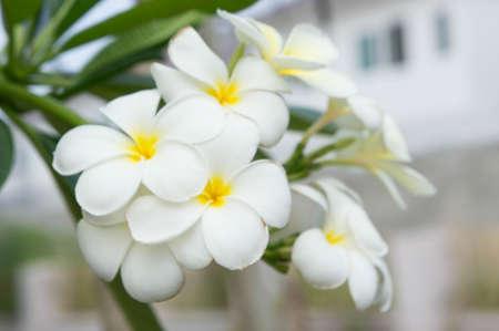 Plumeria flowers , beautiful flowers in the garden