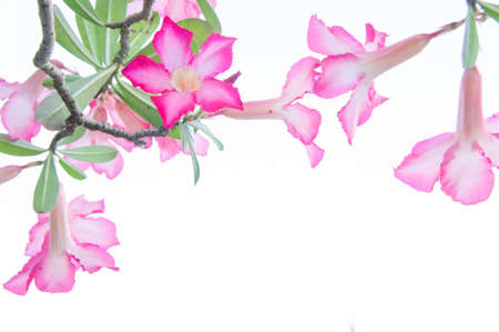 Flowers, Desert Rose; Impala Lily; Mock Azalea flowers on background