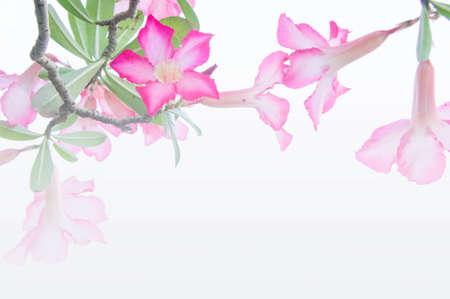 mock azalea: Flowers, Desert Rose; Impala Lily; Mock Azalea flowers on background