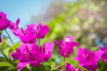 color bougainvillea: bougainvillea flowers, pink flowers with light morning in the garden Stock Photo