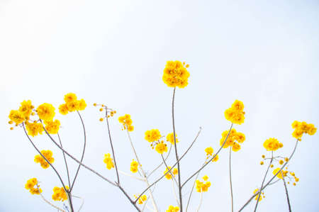 Yellow flowers, Silk Cotton flowers, Tree beautiful in sky