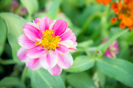 Gerbera , Barberton daisy flowers in the park , pink flowers in the garden Stock Photo