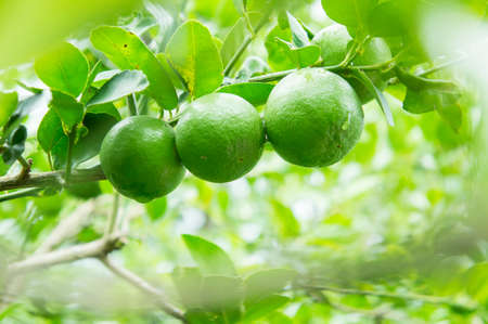 florida citrus: lime tree in the farm Stock Photo