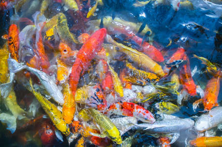 Colored Crap fish top view pond in the park, Fancy crap fish surface on the water Stock Photo