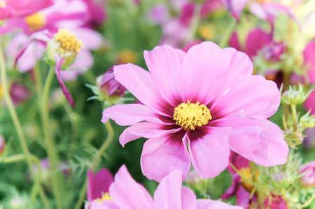 Fleurs de cosmos roses, fleurs de Marguerite dans le jardin Banque d'images - 81012221