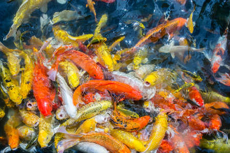 Fancy carp fishs swim in the pond , color carp fish,Pet Believe it is luck. And prosperity Stock Photo