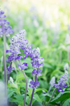Lavender Beautiful purple flowers job And useful to smell fresh.
