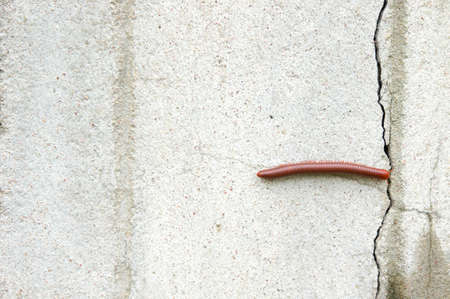 nocturnal: Watch out for millipedes in the rainy season. Millipede on the wall of the house in the rain. Stock Photo