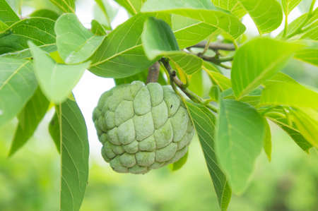 custard apple on the tree fruit of thailand