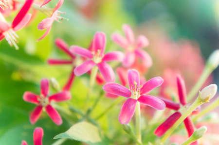 Rangoon Creeper flowers, Chinese honey Suckle, Drunen sailor flowers, blossom pink flowers