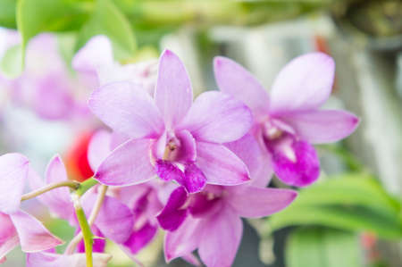 flores fucsia: Orchid purple flowers on nice day