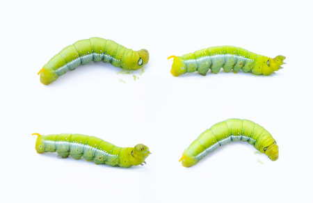 pupa: Green worm caterpillars animals isolate on white background Stock Photo