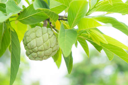 custard apple on the tree fruit of thailand