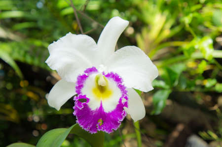 cattleya: white flowers or cattaleya orchid flowers blooming in the nature garden background Stock Photo