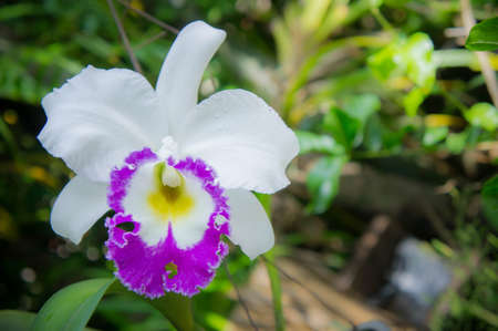 cattleya: white flowers orchid flowers blooming in the nature garden background