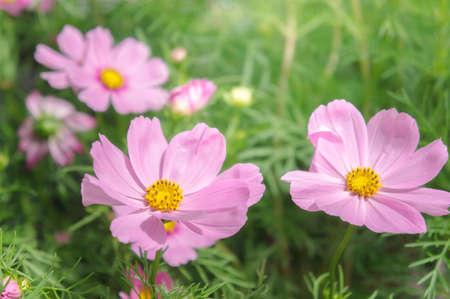 daisy flowers , cosmos flowers blossom  in morning light