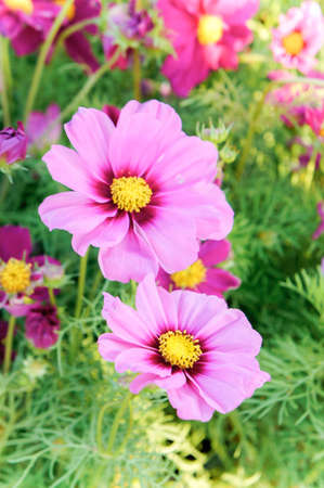 pink cosmos flowers , daisy blossom flowers in the garden