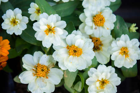 white daisy flowers nature garden background