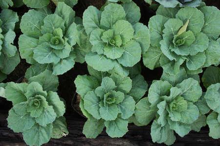 bahçede sebze, organik sebze büyümesi