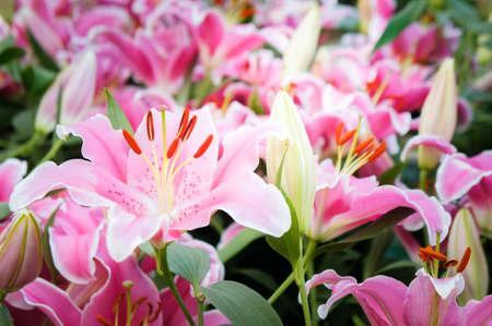 lilly pembe çiçekler doğa bahçesi romantizm doğa çiçekler bahçede çiçek açan Stok Fotoğraf