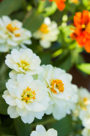 white daisy flowers in nature background