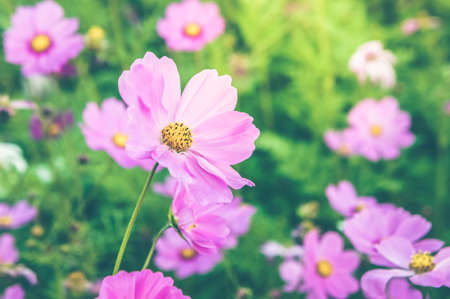 flowers cosmos pink and white color in the nature garden , colorful in the nice day , flowers vintage time in the day