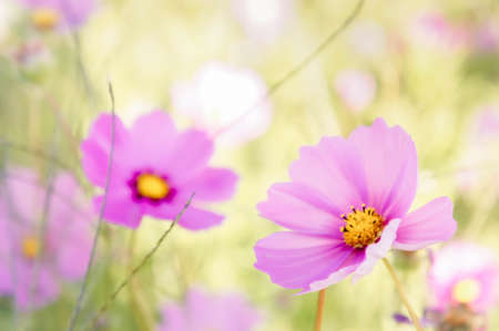 çiçekler kosmos pembe ve beyaz renk doğa bahçesinde, güzel günde renkli, günü çiçekler vintage saati Stok Fotoğraf