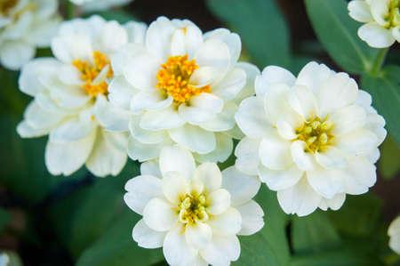 beyaz papatya çiçekleri doğa bahçesi arka plan